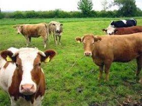 Xác lập quyền sở hữu đối với gia súc bị thất lạc