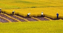 Trách nhiệm của người sử dụng đất trồng lúa
