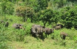 Xử phạt hành vi chăn thả gia súc trong những khu rừng đã có quy định cấm