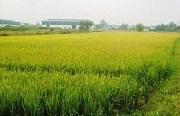 Đất trồng lúa sang đất trồng cây hàng năm khác có phải chuyển mục đích sử dụng không?