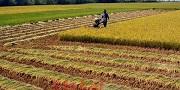 Chuyển đất trồng lúa sang đất trồng cây lâu năm không xin phép bị phạt bao nhiêu?