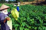 Hành vi vi phạm về giấy chứng nhận đủ điều kiện đầu tư trồng cây thuốc lá