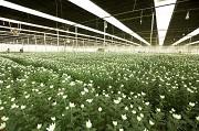Quyền của chủ bằng bảo hộ bị bắt buộc chuyển giao quyền sử dụng giống cây trồng